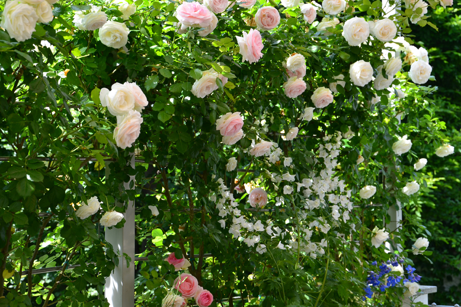 Rose verdearchitettura for Rampicanti con fiori
