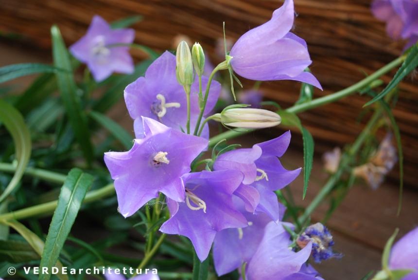 Va_02_campanula persicifolia telham beauty