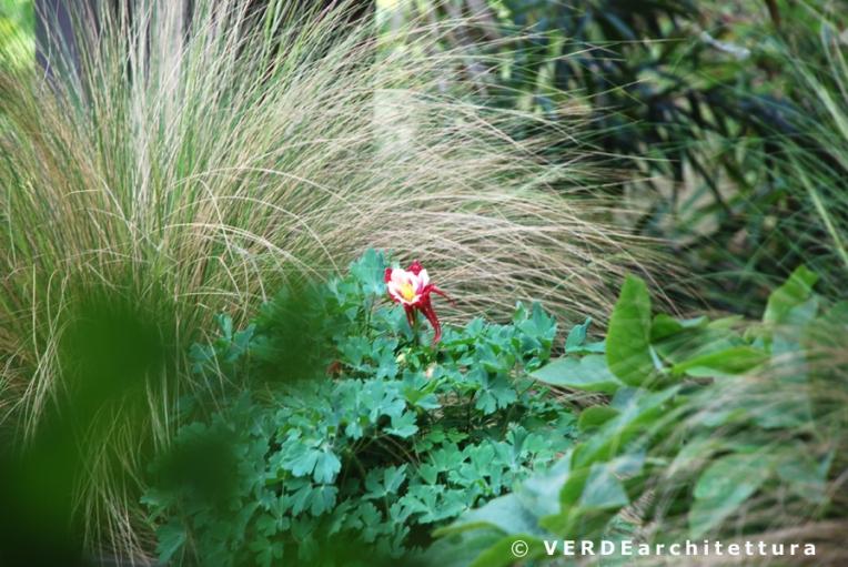 Va_03_aquilegia-stipa tenuissima