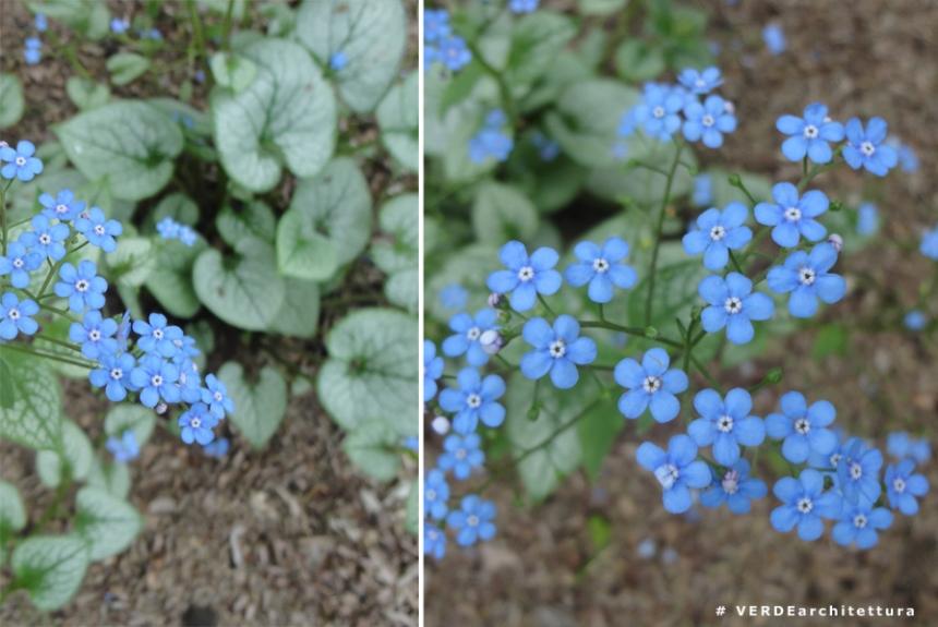 Va_brunnera macrophylla jack frost_03