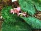 Begonia sizemoroae
