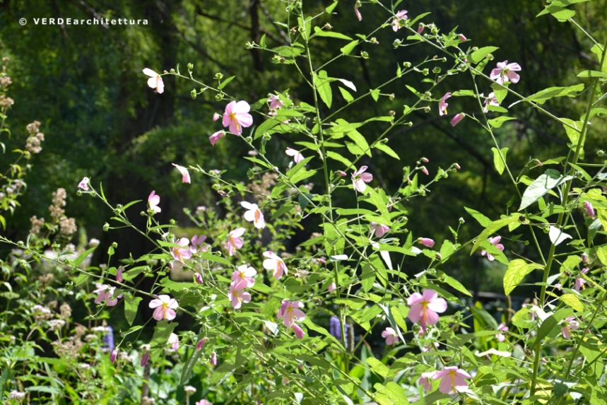 Va_orto botanico lucca_Kosteletzkya pentacarpos 01