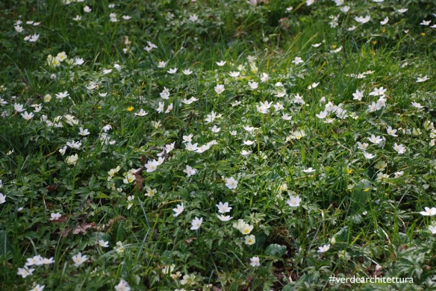 Verdearchitettura_anemone nemorosa fiori del vento 01_logo