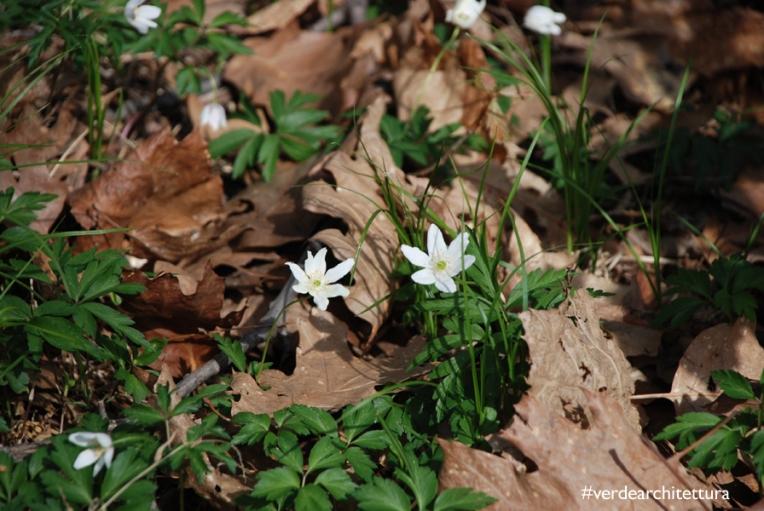 Verdearchitettura_anemone nemorosa fiori del vento04_logo