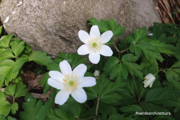 Verdearchitettura_anemone nemorosa fiori del vento 06_logo