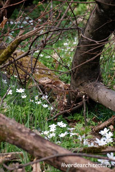 Verdearchitettura_anemone nemorosa fiori del vento08_logo
