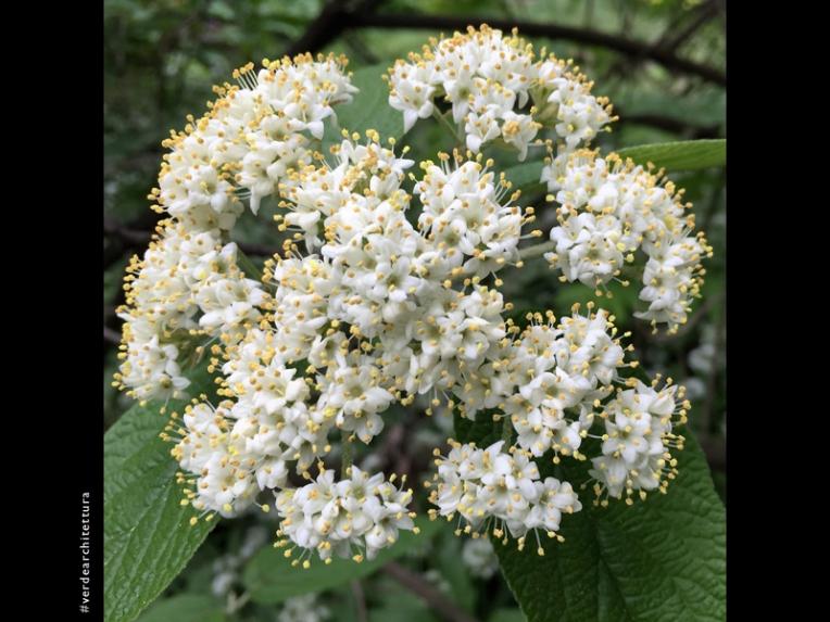 Va_05_Viburnum cotinifolium_orto botanico brera