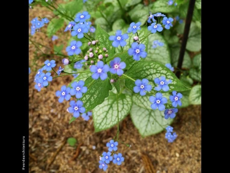 Va_06_Brunnera macrophylla 'Jack Frost'_orto botanico brera