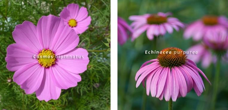 Va_Cosmos bipinnatus Echinacea purpurea 01 giardino farfalle