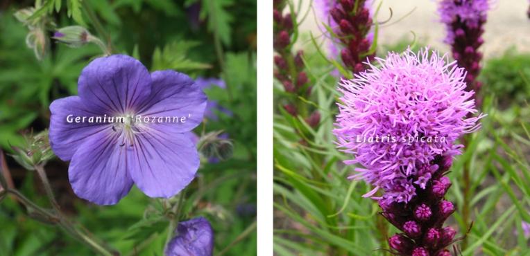 Va_Geranium Rozanne Liatris spicata 02 giardino farfalle