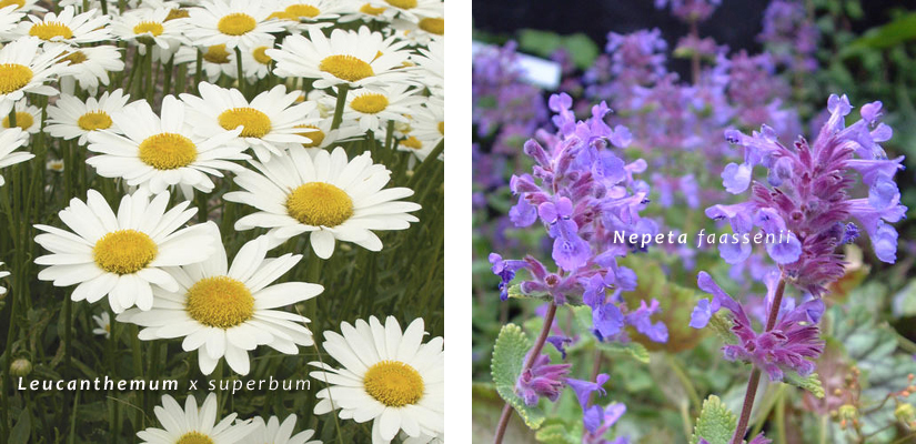 Va_Lucanthemum superbum Nepeta faassenii 03 giardino farfalle