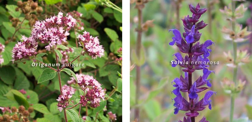 Va Origanum vulgare Salvia nemorosa giardino farfalle