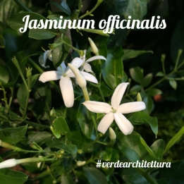Jasminum officinalis