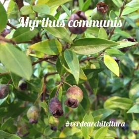Myrthus communis