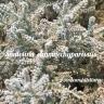 Santolina chamaechyparissus