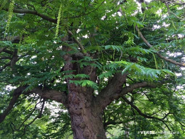 va_pterocaria-fraxinifolia_orto-botanico-edimburgo-01