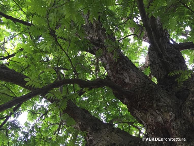 va_pterocaria-fraxinifolia_orto-botanico-edimburgo-02