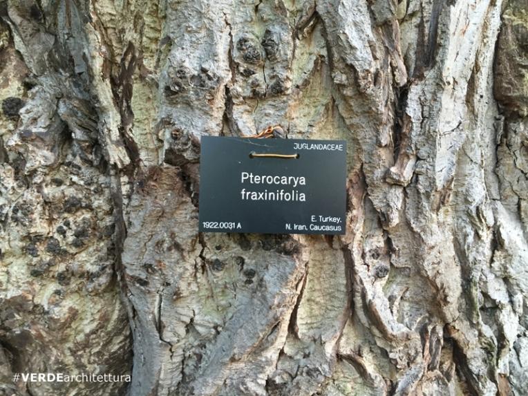 va_pterocaria-fraxinifolia_orto-botanico-edimburgo-03